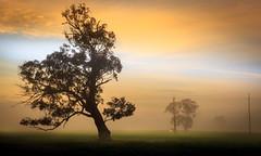 Bias (**James Lee**) Tags: mist tree misty sunrise landscape cow alone cattle farm foggy australia rays solitary bias cloudes jameslee