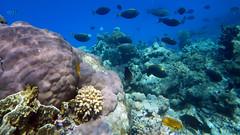43.Orange Spine Unicornfish (Naso lituratus) (__Maestro__) Tags: sea fish underwater redsea scuba diving reef corals coralreef