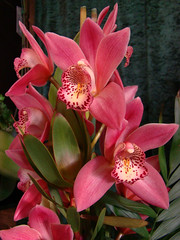 Orchids (Ria en Reinier) Tags: flowers red beauty garden flora orchids ngc