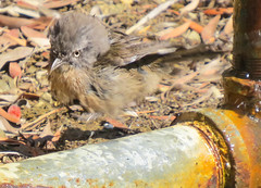 Young Wrentit learning to levitate 0143 (pekabo90401) Tags: birdbath wormhole birdwatching antigravity quantumphysics rarebird wrentit levitatingbird birdwatchinglosangeles pekabo90401 pacificpalisadeshighlandsbirds levitatingwrentit