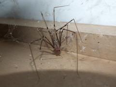 Pholcidae Daddy-long-legs spider Male DSCF4019 (Bill & Mark Bell) Tags: exmouth westernaustralia australia geo:town=exmouth geo:state=westernaustralia geo:country=australia geo:lon=11425453egeolat2217752sgeoalt8m 11425453e2217752salt8m taxonomy:kingdom=animalia animalia taxonomy:phylum=arthropoda arthropoda taxonomy:class=arachnida arachnida taxonomy:order=araneae araneae pholcidae taxonomycommonnamedaddylonglegs daddylonglegs spider male taxonomy:family=pholcidae