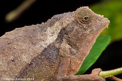 Bearded pygmy-chameleon (Rieppeleon brevicaudatus) (Stephen Zozaya) Tags: africa tanzania chameleon rieppeleonbrevicaudatus rieppeleon eastusambaramountains stephenzozaya easternarcmountains