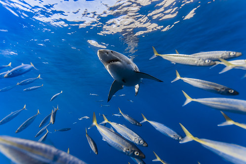 Great white shark framed by mackerel scad
