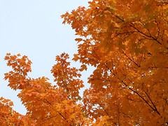 """Fiery Branches obscuring sky • <a style=""""font-size:0.8em;"""" href=""""http://www.flickr.com/photos/34843984@N07/15236939150/"""" target=""""_blank"""">View on Flickr</a>"""