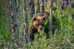 Breaking Trail (dbushue) Tags: bear canada forest nikon britishcolumbia wildlife fireweed grizzlybear canadianrockies 2014 kootenaynationalpark specanimal fantasticwildlife dailynaturetnc14 photoofthedaynwf14