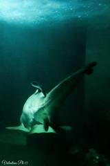 Predatore. (*Valentina.) Tags: sea canon eos aquarium shark marine darkness details dettagli predator acquario marino d550 oscurit squalo predatore primitentativi