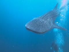 Maldives 2014 (bowsawblogger) Tags: fish animals coral canon sand honeymoon indianocean scuba fantasia snorkelling bsac scubadiving whaleshark padi reef maldives 2014 g16 shorediving scubatravel livaboard scubascuba canong16