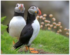 Puffins (eric robb niven) Tags: nature scotland wildlife isleofmull puffins seabirds lunga treshnish ericrobbniven pentaxk50
