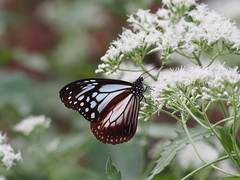 (Polotaro) Tags: nature pen butterfly bug insect olympus  zuiko 10         fzuiko300mmf45 epm2 pa040286