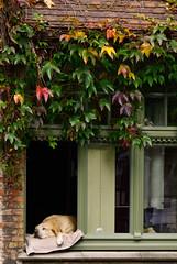 (Karsten Hansen) Tags: sleeping dog window relax sleep bruges relaxed cosy brügge pentaxk10d karstenhansen