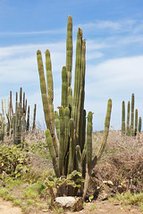 Stenocereus griseus (Rodrigo Conte) Tags: cactus plant planta netherlands dutch aruba caribbean cactaceae cacto antilles caribe pitaya griseus antilhas holandesas stenocereus pitayodemayo stenocereusgriseus mexicanorganpipe daggercactus