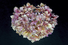 Sweet Heart (Jacky Parker Floral Art) Tags: pink flower macro art floral horizontal closeup blackbackground romance format hydrangea shrub freshness heartshaped flowerhead naturephotography beautyinnature flowerphotography