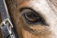 Eye Of Bella-25 July 2014 (Martyn Gill - IMAGES -731,000 Views - Thank You...) Tags: uk summer horse eye sunshine canon bella equine westyorkshire 400d equestriancentre martyngillimages2014 otleymenston