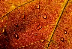 rain, rain, go away (marianna-a.) Tags: autumn canada macro fall water rain leaf drop droplet meniscus mariannaarmata