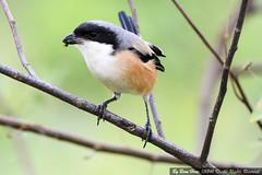 Long-tailed Shrike or Rufous-backed Shrike (Lanius schach)_DSC2270-1 (BoonHong Chan) Tags: or shrike laniusschach longtailedshrike rufousbackedshrike