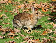 Bunny (Diane Marshman) Tags: brown white black rabbit bunny fall nature leaves animal season fur pennsylvania wildlife tail gray tan foliage pa fallen eastern northeast cottontail