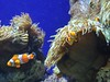 Clownfish (a.rutherford1) Tags: city sea urban fish digital aquarium nikon singapore asia underwater forsale tropical sentosa touristattraction d300 holidayisland republicofsingapore exposuretime140sec modelnikond300 photosfromflickrgmailcom lens1224mmf4040 fnumberf4 isospeedratings400
