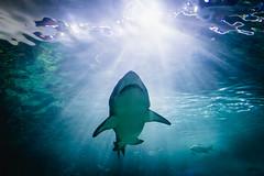fish toronto ontario canada water aquarium shark tank teeth ripleys jaws ripleysaquarium img5458