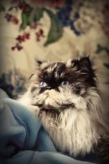 IMG_1576sc2 (Deganizer) Tags: cat himalayan