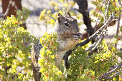 Squirrel Canyon4 (B. Freeland) Tags: red arizona rodent squirrel rocks grand canyon gorge