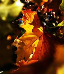 Autumnal 76 (Lostash) Tags: autumn plants nature leaves leaf flora colours seasons vibrant