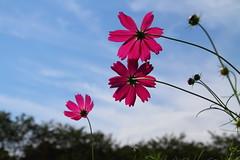 Red Cosmos (tmizo) Tags: pink blue autumn red sky cloud flower japan asia  nippon saitama cosmos  hidaka kinchaku