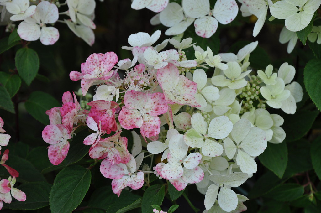 the world 39 s best photos of hydrangea and paniculata. Black Bedroom Furniture Sets. Home Design Ideas