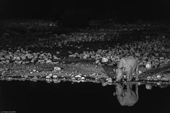 Rhinocros (trekmaniac-is-back) Tags: 1998 animaux rhinoceros diapo namibie etoshanationalpark