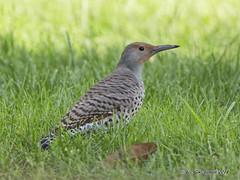 Northern Flicker (pandatub) Tags: bird birds flicker ardenwood ebparks ebparksok