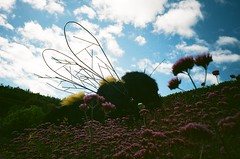 Bumble Bee @ Eden (imogencallaway) Tags: camera flowers blue sky white film 35mm project buzz lomo lomography cornwall edenproject fluffy bee bumblebee eden staustell