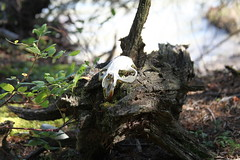 decay (photoluver1) Tags: nature skull decay bones wilderness remains forests decompose