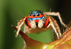 Colorful Jumping spider (karthik Nature photography) Tags: color macro nature animals closeup forest garden photography spider spiders wildlife jumpingspider macrophotography salticidae macroworld animalworld spiderworld insectphotography macrolife malejumpingspider colorfuljumpingspider beautifuljumpingspider jumpingspidersinindia
