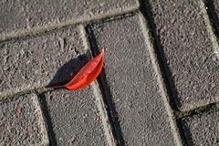Its that season again! (explored) (Sina Farhat) Tags: autumn light color leave stone canon göteborg raw pattern sweden bokeh host sverige sten färg järntorget 031 ljus gothenborg löv mönster 50d skärpedjup fotosondag nikon105mm25preai photoshopcc fs141005 träffmedlund