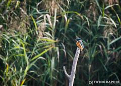 Eisvogel (fran.fotographix) Tags: vgel naturschutzgebiet eisvogel