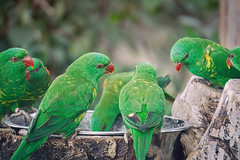 Birds of a Feather (aproudlove) Tags: green water birds drink flock group beak feathers gathering aviary parrots avian 2014 sonya6000