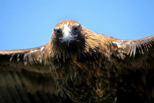 Raptor Domain - Wedge-tailed Eagle
