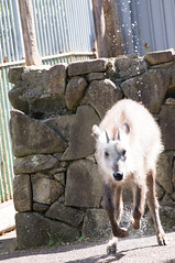 (Y.UTU) Tags: animal sony  70300mmf456 tamronlens japaneseserow  55 slta55v