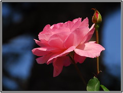 The Queen of flowers (petrk747) Tags: voyage park travel pink flower travelling nature rose garden flora nikon pin natural country bud flowerbud nicegroup saariysqualitypictures thegalleryofflowerseffe magicmomentsinyourlifelevel4