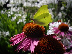 Fire & Brimstone (peter_vasey) Tags: echinacea brimstone imago a30 vasey pentaxoptio brimstonebutterfly pentaxoptioa30 vaseyp