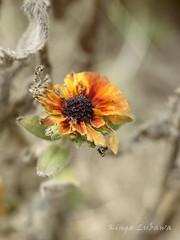 Rest of sommer (kinga.lubawa) Tags: autumn october echinacea sommer rest lato jesie październik jeżówka