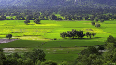 Ta Pa fields (-clicking-) Tags: green field landscape colorful asia peace peaceful vietnam ricefield vietnameselandscape