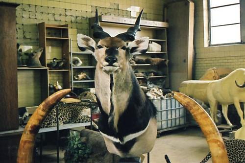 antilope3