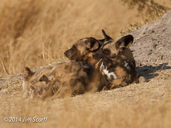 African Wild Dogs (Jim Scarff) Tags: botswana africanwilddog carnivores moremigamereserve lycaonpictus canids canidae africanmammals