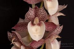 2014-4696_AOSJud_20141010_IMG_0288_CEJ_W.jpg (celainej) Tags: white plant orchid green burgundy ivory spot american society matte aos