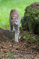 ... we ... (The Wasp Factory) Tags: tierpark lynx sababurg wildlifepark luchs eurasianlynx nordluchs tierparksababurg