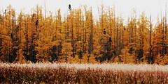 Tamaracks and the Odd Black Spruce (prairie_girl76) Tags: larixlaricina whiteshellpp