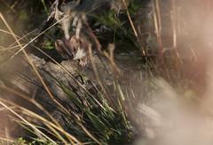Hermine- Mustela erminea (Morgan Boch) Tags: nature montagne nikon auvergne mammifre sauvage hermine cantal mustelaerminea mustelid d300s morganboch
