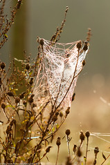 DSC_0014.jpg (iM@n) Tags: morning light nature netherlands spider nikon web nederland thenetherlands nl aalst    d90   nikond90 d