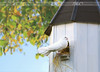 dove in dovecot (itsabreeze) Tags: autumn summer pet white bird home peace dove cosy homely sunnyday dwelling dovecot whitedove