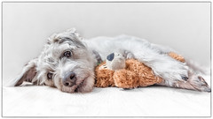 Mac and Teddy (RissaJT_23) Tags: macandcheese portrait highkey dog petphotography teddy jackrussellterrier jrt canon canon6d canoneos6d canon1740mm animals mac highkeyphotography terrier